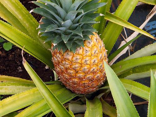 pineapple.1.jpg